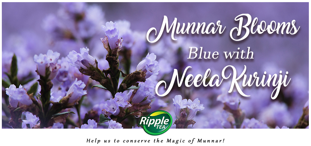 Munnar Blooms Blue…with Neelakurinji!